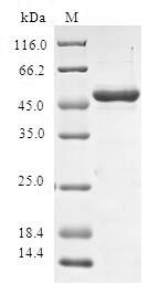 SDS-PAGE- Recombinant protein Human SPAG16