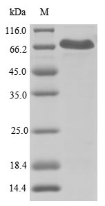 SDS-PAGE- Recombinant protein Human NLRP3