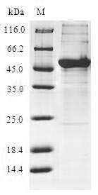 SDS-PAGE- Recombinant protein Human KCTD15