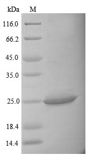 SDS-PAGE- Recombinant protein Mouse Il34