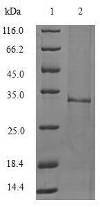 SDS-PAGE- Recombinant protein Mouse Il1f10