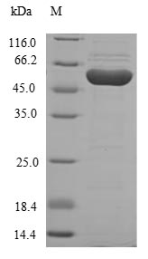 SDS-PAGE- Recombinant protein Human HGD