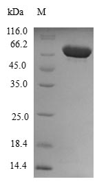 SDS-PAGE- Recombinant protein Human DYNC2LI1
