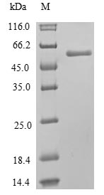 SDS-PAGE- Recombinant protein Human MLKL