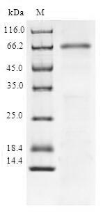 SDS-PAGE- Recombinant protein Human SIRT6