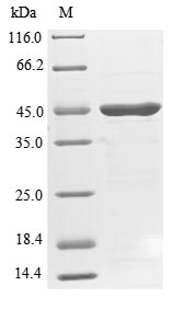 SDS-PAGE- Recombinant protein Human SH3GL1
