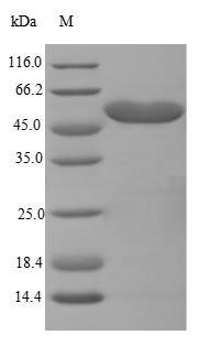 SDS-PAGE- Recombinant protein Mouse Hadhb