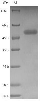 SDS-PAGE- Recombinant protein Human CD244