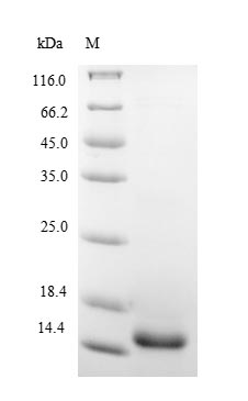 SDS-PAGE- Recombinant protein Pig IL5