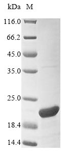 SDS-PAGE- Recombinant protein Mouse Urah