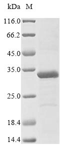 SDS-PAGE- Recombinant protein Human TREX1
