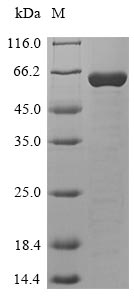 SDS-PAGE- Recombinant protein Human HPF1