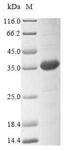 SDS-PAGE- Recombinant protein Human DCAF16