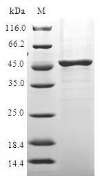 SDS-PAGE- Recombinant protein Human IL37