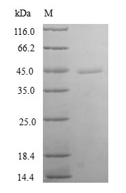 SDS-PAGE- Recombinant protein Human TXNL4B