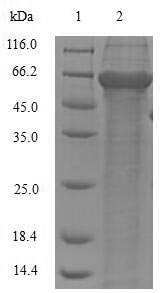 SDS-PAGE - Recombinant Cupressus arizonica Pectate lyase 1