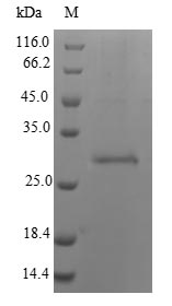 SDS-PAGE - Recombinant Calloselasma rhodostoma Snaclec rhodocytin subunit beta