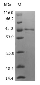 SDS-PAGE- Recombinant protein Human IL36G