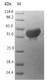 SDS-PAGE- Recombinant protein Human S100A14
