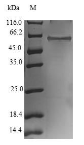 SDS-PAGE- Recombinant protein Human RNF41