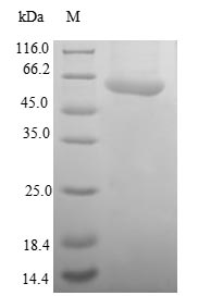 SDS-PAGE- Recombinant protein Human SAE1
