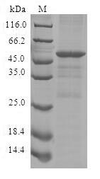 SDS-PAGE- Recombinant protein Human CISH