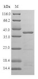 SDS-PAGE- Recombinant protein Human ISCU