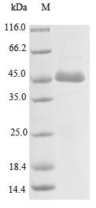 SDS-PAGE- Recombinant protein Human ACTL8