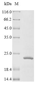 SDS-PAGE- Recombinant protein Human IGF1R
