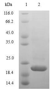 SDS-PAGE- Recombinant protein Macaca IL10