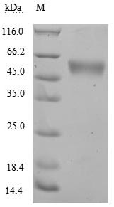 SDS-PAGE- Recombinant protein Human KLRK1