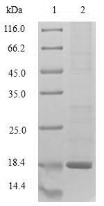 SDS-PAGE- Recombinant protein Rabbit HINT1