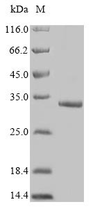 SDS-PAGE- Recombinant protein Human FAM167A