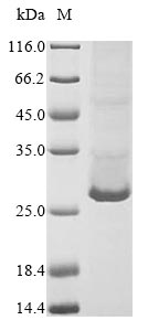 SDS-PAGE- Recombinant protein Mouse C1qtnf3