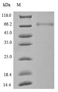 SDS-PAGE- Recombinant protein Human CD274