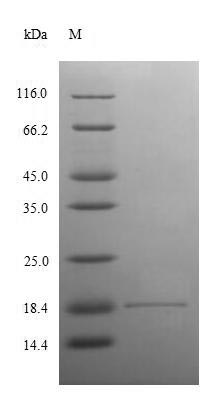 SDS-PAGE- Recombinant protein Human ANG