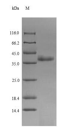 SDS-PAGE- Recombinant protein Chicken VP3