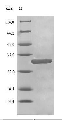 SDS-PAGE- Recombinant protein Human BRCA1