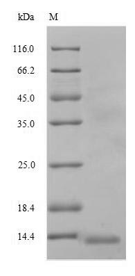 SDS-PAGE- Recombinant protein Human ABCB1