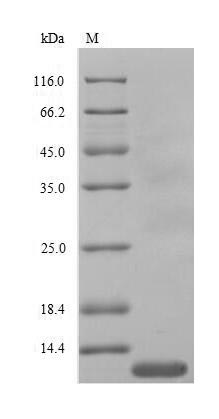 SDS-PAGE- Recombinant protein chicken CXCL8