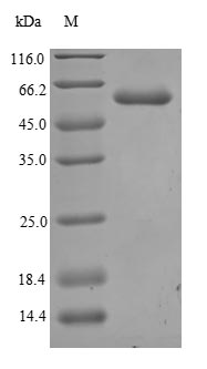 SDS-PAGE- Recombinant protein Human ANGPT2