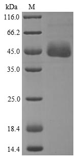 SDS-PAGE- Recombinant protein Human APOA4