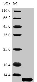 SDS-PAGE- RecombinantMouseAquaporin-4 protein  Aqp4