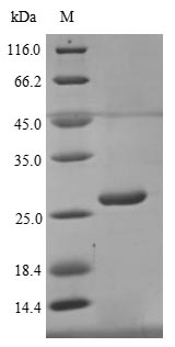 SDS-PAGE- Recombinant protein Human BTN3A1