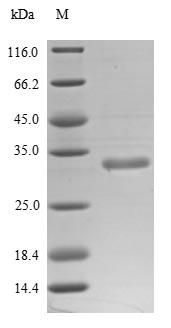 SDS-PAGE- Recombinant protein Human CD38