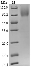 SDS-PAGE- Recombinant protein Human CD48