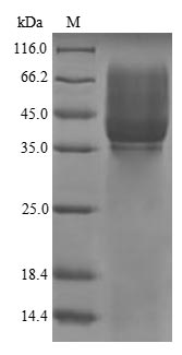 SDS-PAGE- Recombinant protein Pig CDH3