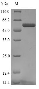 SDS-PAGE - Recombinant Human COL11A1