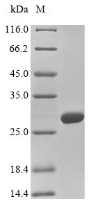 SDS-PAGE - Recombinant Mouse Col4a2