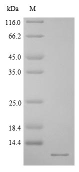 SDS-PAGE- Recombinant protein Rat Crygb